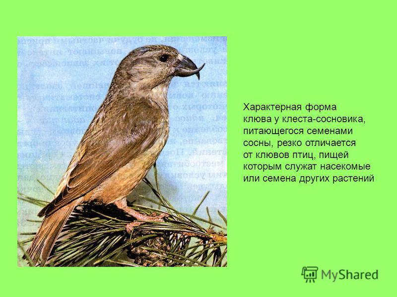 Характерная форма клюва у клеста-сосновика, питающегося семенами сосны, резко отличается от клювов птиц, пищей которым служат насекомые или семена других растений