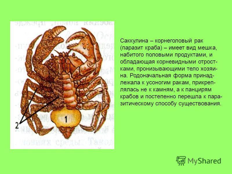 Саккулина – корнеголовый рак (паразит краба) – имеет вид мешка, набитого половыми продуктами, и обладающая корневидными отростками, пронизывающими тело хозяина. Родоначальная форма принадлежала к усоногим ракам, прикреп- клялась не к камням, а к панц