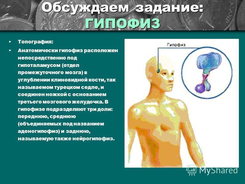 Обсуждаем задание: ГИПОФИЗ Топография: Анатомически гипофиз расположен непосредственно под гипоталамусом (отдел промежуточного мозга) в углублении клиновидной кости, так называемом турецком седле, и соединен ножкой с основанием третьего мозгового жел
