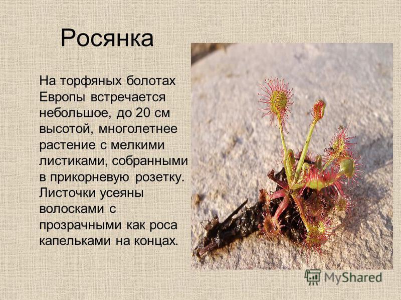 Росянка На торфяных болотах Европы встречается небольшое, до 20 см высотой, многолетнее растение с мелкими листиками, собранными в прикорневую розетку. Листочки усеяны волосками с прозрачными как роса капельками на концах.