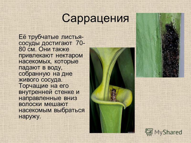 Саррацения Её трубчатые листья- сосуды достигают 70- 80 см. Они также привлекают нектаром насекомых, которые падают в воду, собранную на дне живого сосуда. Торчащие на его внутренней стенке и направленные вниз волоски мешают насекомым выбраться наруж