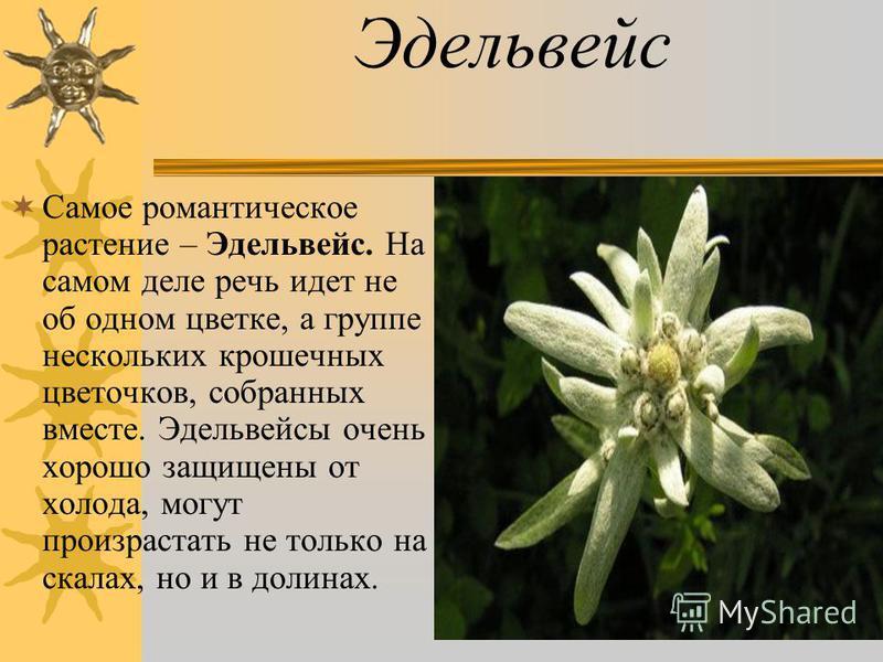 Эдельвейс Самое романтическое растение – Эдельвейс. На самом деле речь идет не об одном цветке, а группе нескольких крошечных цветочков, собранных вместе. Эдельвейсы очень хорошо защищены от холода, могут произрастать не только на скалах, но и в доли