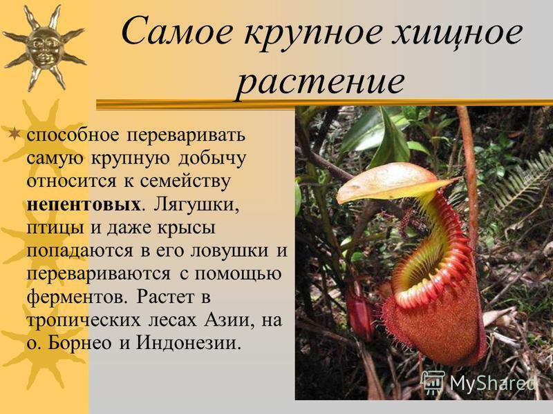 Самое крупное хищное растение способное переваривать самую крупную добычу относится к семейству непентовых. Лягушки, птицы и даже крысы попадаются в его ловушки и перевариваются с помощью ферментов. Растет в тропических лесах Азии, на о. Борнео и Инд
