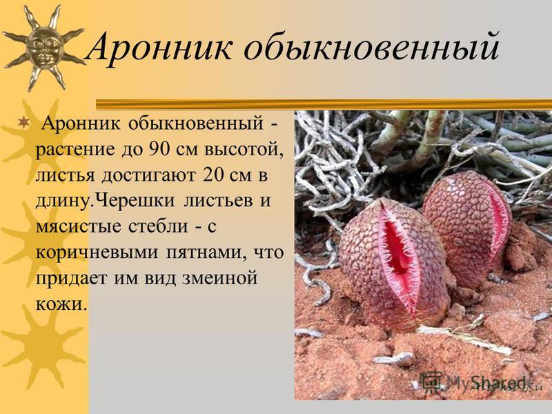 Аронник обыкновенный Аронник обыкновенный - растение до 90 см высотой, листья достигают 20 см в длину.Черешки листьев и мясистые стебли - с коричневыми пятнами, что придает им вид змеиной кожи.