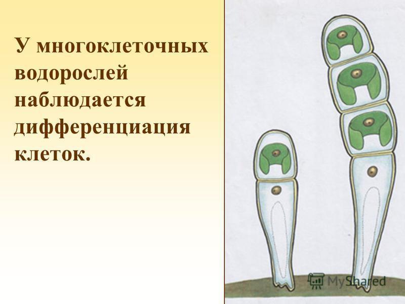 У многоклеточных водорослей наблюдается дифференциация клеток.