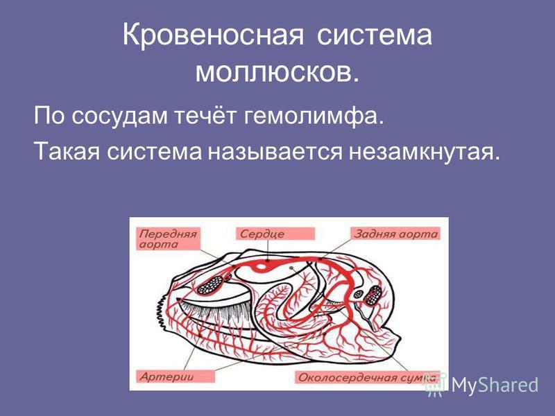Кровеносная система моллюсков. По сосудам течёт гемолимфа. Такая система называется незамкнутая.