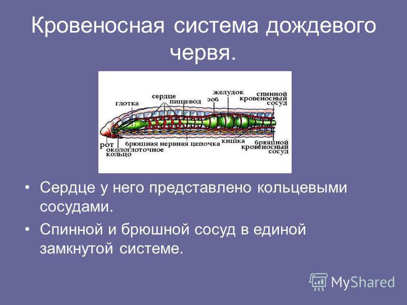 Кровеносная система дождевого червя. Сердце у него представлено кольцевыми сосудами. Спинной и брюшной сосуд в единой замкнутой системе.