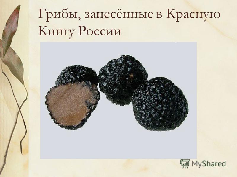 Грибы, занесённые в Красную Книгу России ТРЮФЕЛЬ ЛЕТНИЙ