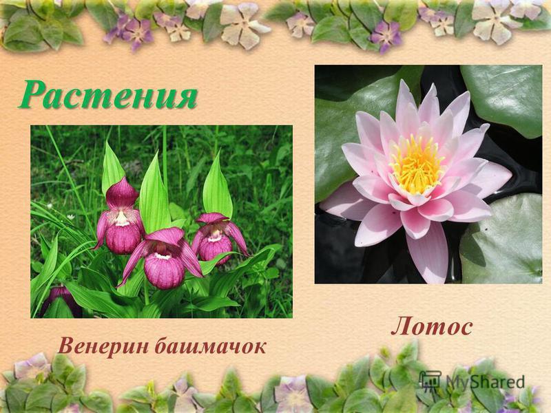 Растения Венерин башмачок Лотос