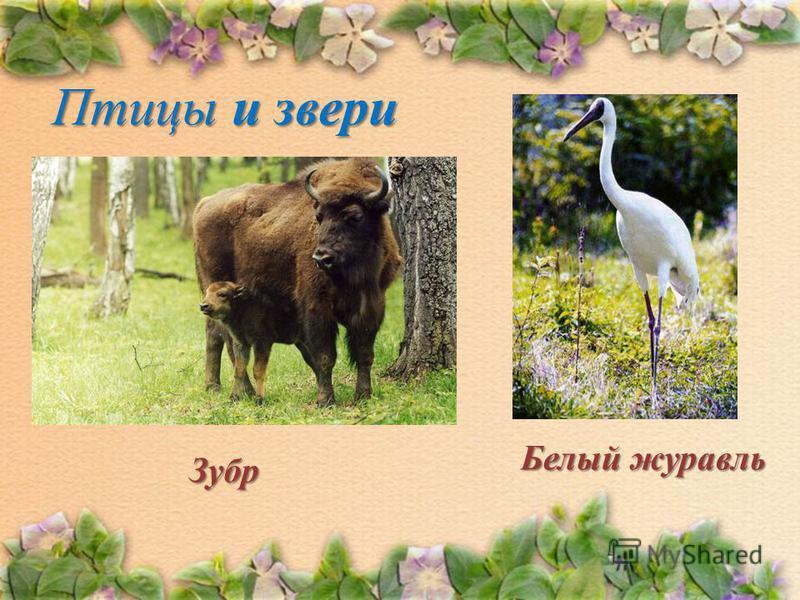 Птицы и звери Белый ж жж журавль Зубр