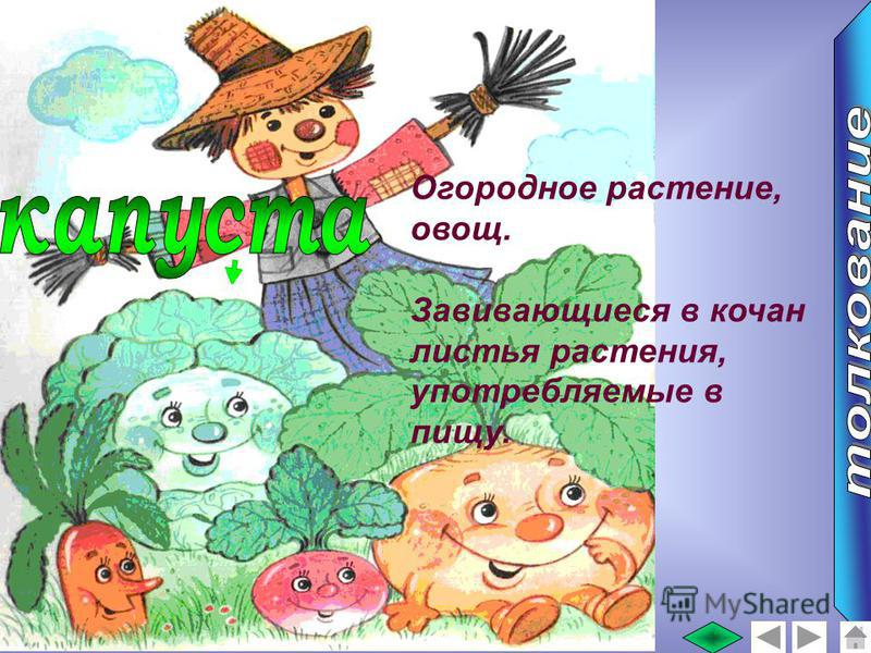 Огородное растение, овощ. Завивающиеся в кочан листья растения, употребляемые в пищу.