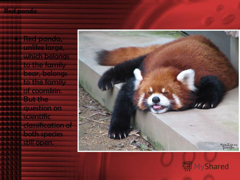 Red panda Red panda, unlike large, which belongs to the family bear, belongs to the family of coonskin. But the question on scientific classification of both species still open.