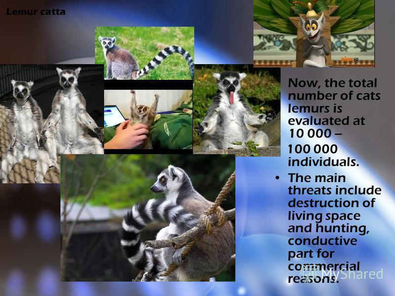 Lemur catta Now, the total number of cats lemurs is evaluated at 10 000 – 100 000 individuals. The main threats include destruction of living space and hunting, conductive part for commercial reasons.