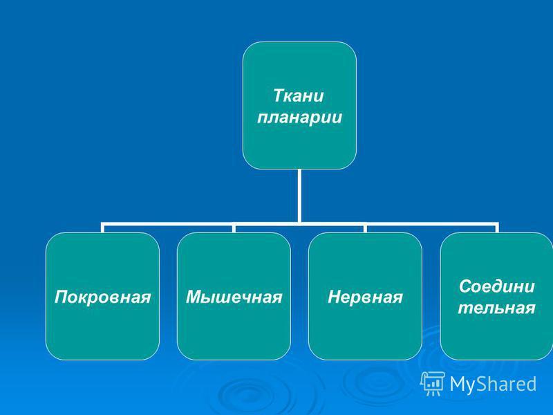 Ткани планарии Покровная МышечнаяНервная Соедини тельная