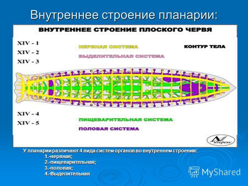 Внутреннее строение планарии: У планарии различают 4 вида систем органов во внутреннем строении: 1.-нервная; 1.-нервная; 2.-пищеварительная; 2.-пищеварительная; 3.-половая; 3.-половая; 4.-Выделительная 4.-Выделительная