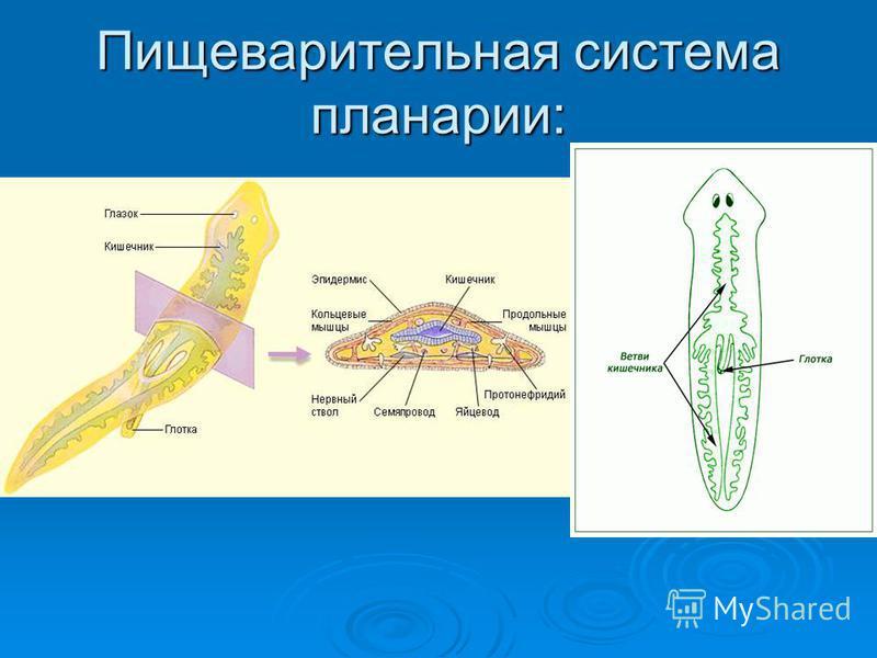 Пищеварительная система планарии: