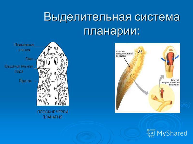 Выделительная система планарии: