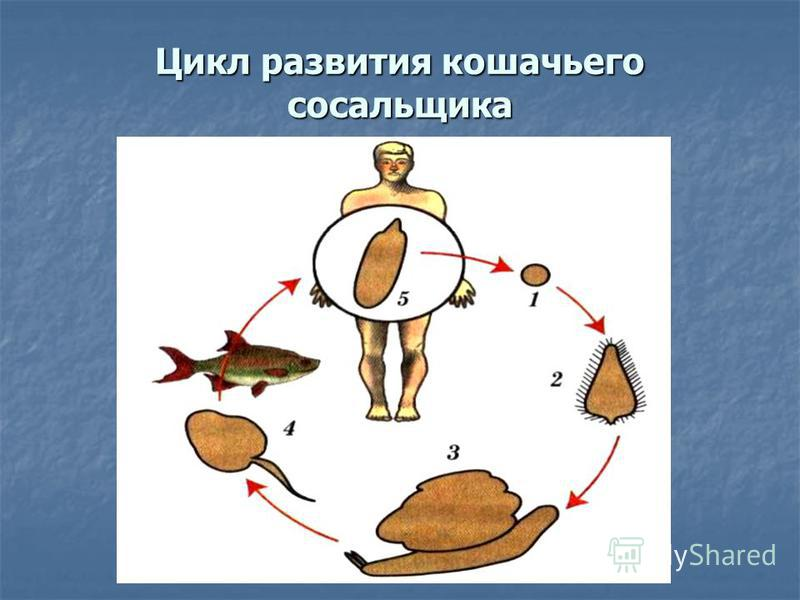 Цикл развития кошачьего сосальщика