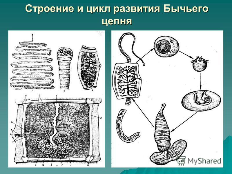 Строение и цикл развития Бычьего цепня