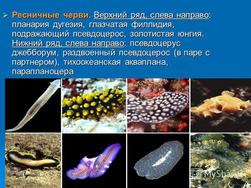 Ресничные черви. Верхний ряд, слева направо: планария дугезия, глазчатая филлодия, подражающий псевдоцирроз, золотистая юнгия. Нижний ряд, слева направо: псевдоцерус джебборум, раздвоенный псевдоцирроз (в паре с партнером), тихоокеанская акваплана, п