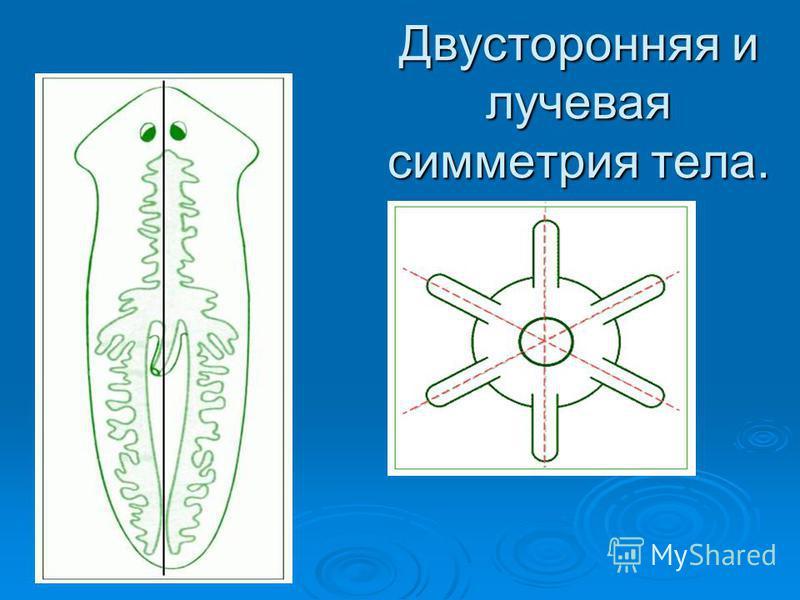 Двусторонняя и лучевая симметрия тела.