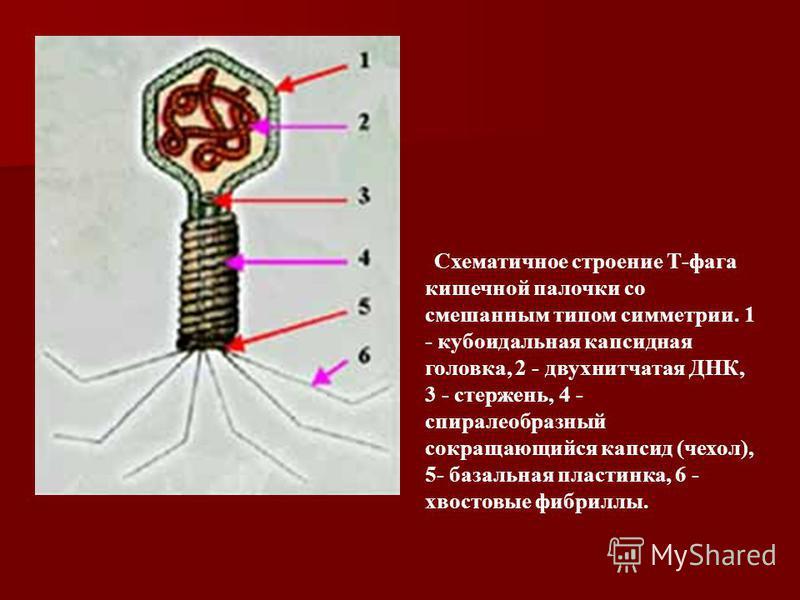 Схематичное строение Т-фага кишечной палочки со смешанным типом симметрии. 1 - кубоидальная капсидная головка, 2 - двух нитчатая ДНК, 3 - стержень, 4 - спиралеобразный сокращающийся капсид (чехол), 5- базальная пластинка, 6 - хвостовые фибриллы.
