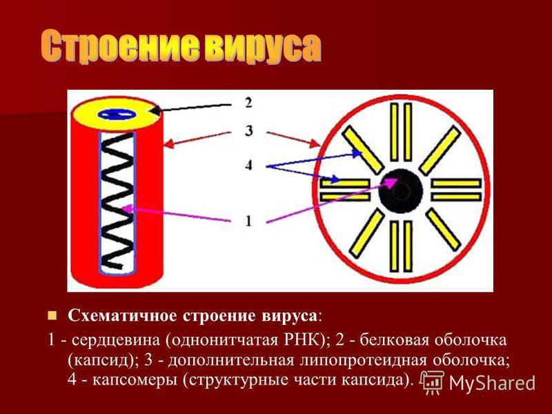Схематичное строение вируса: 1 - сердцевина (однонитчатая РНК); 2 - белковая оболочка (капсид); 3 - дополнительная липопротеидная оболочка; 4 - капсомеры (структурные части капсида).