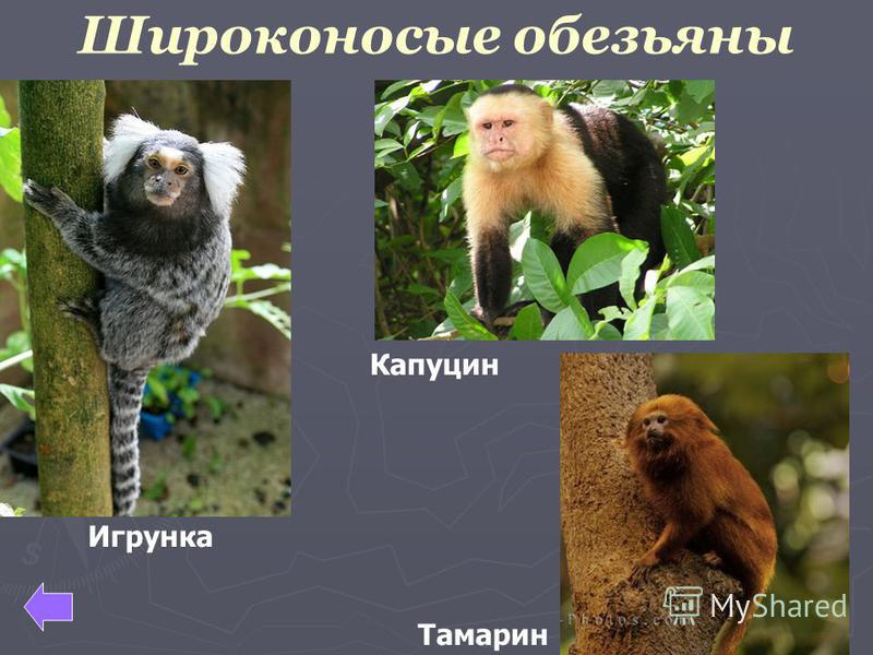 Широконосые обезьяны Капуцин Тамарин Игрунка