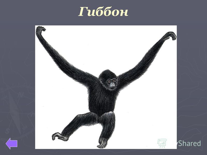 Гиббон