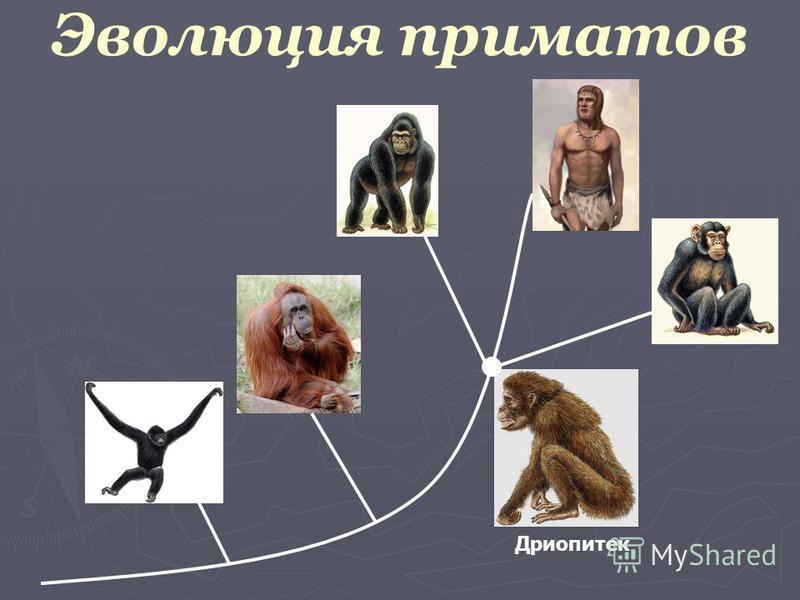 Эволюция приматов Дриопитек