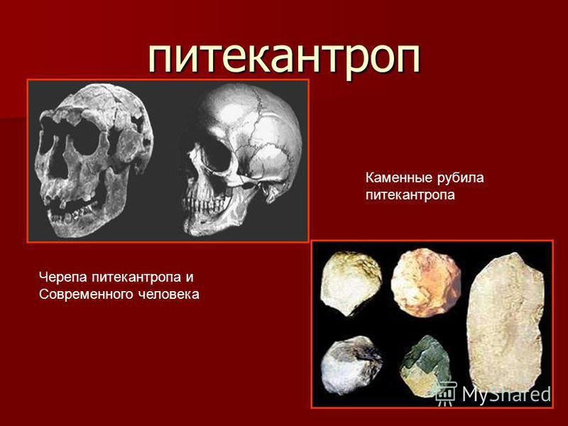 питекантроп Черепа питекантропа и Современного человека Каменные рубила питекантропа