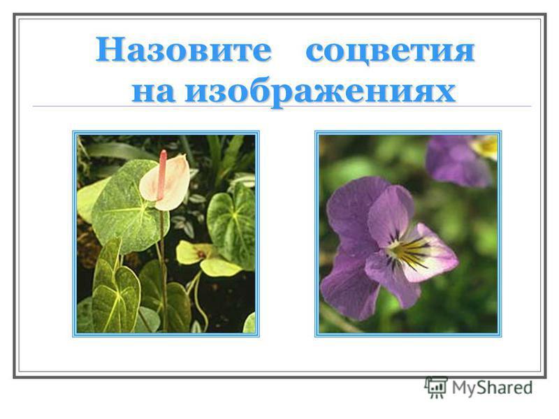 Назовите соцветия на изображениях на изображениях