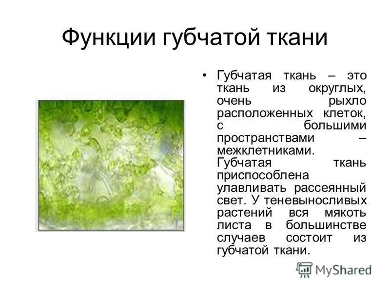 Функции губчатой ткани Губчатая ткань – это ткань из округлых, очень рыхло расположенных клеток, с большими пространствами – межклетниками. Губчатая ткань приспособлена улавливать рассеянный свет. У теневыносливых растений вся мякоть листа в большинс