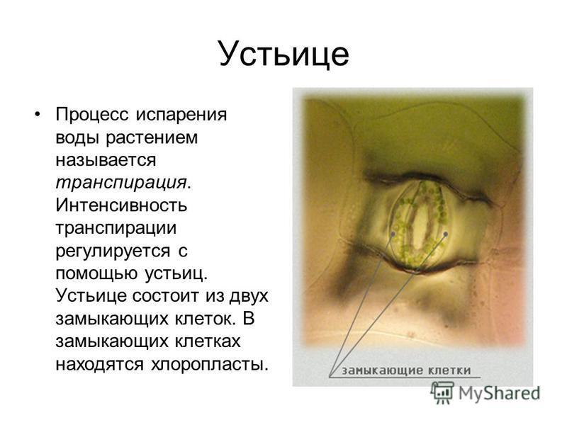пижма паразитов в организме человека