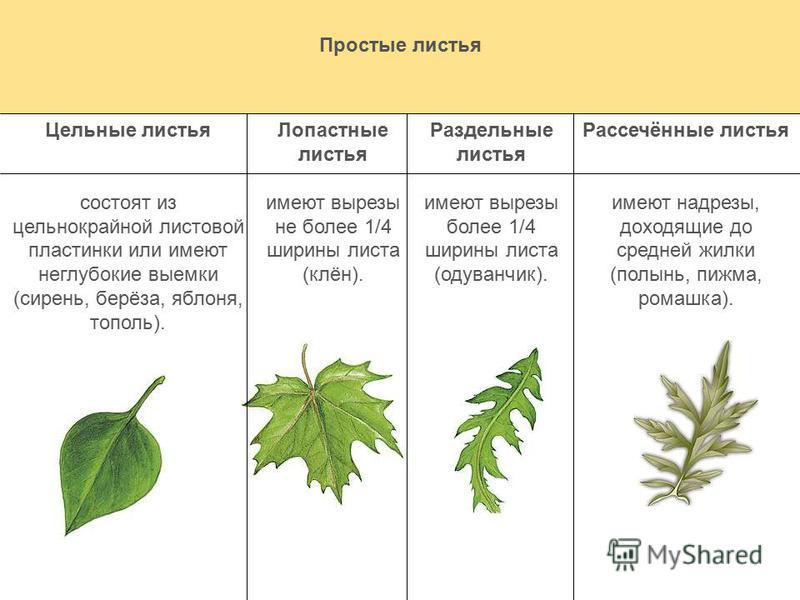 Простые листья Цельные листья состоят из цельнокрайней листовой пластинки или имеют неглубокие выемки (сирень, берёза, яблоня, тополь). Лопастные листья имеют вырезы не более 1/4 ширины листа (клён). Раздельные листья имеют вырезы более 1/4 ширины ли
