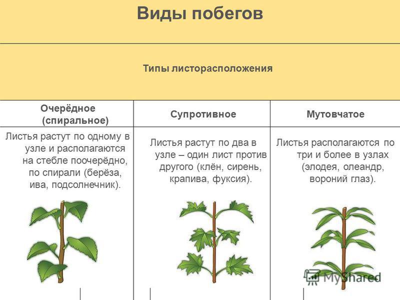 Виды побегов По функциям По развитию междоузлий Вегетативные побеги Цветоносны е побеги Укороченные побеги Удлинённые побеги Осуществляют воздушное питание растений. Выполняют функцию размножения. Междоузлия почти не вырастают. У травянистых растений