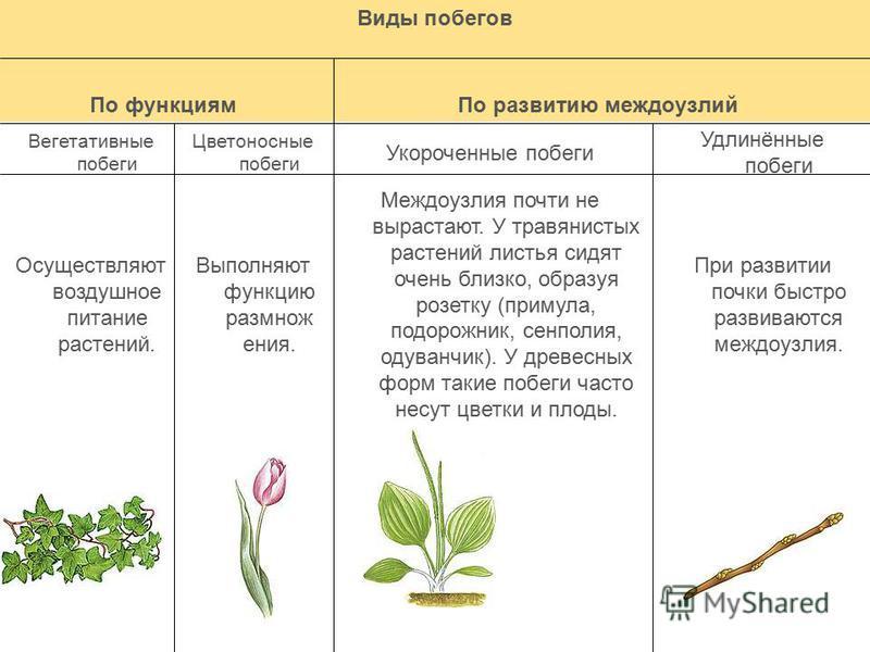 Виды побегов По функциям По развитию междоузлий Вегетативные побеги Цветоносные побеги Укороченные побеги Удлинённые побеги Осуществляют воздушное питание растений. Выполняют функцию размножения. Междоузлия почти не вырастают. У травянистых растений