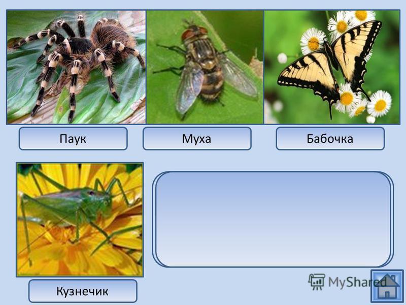 Паук МухаБабочка Кузнечик Паук относится к классу паукообразных, а муха, бабочка и кузнечик представители класса насекомых.