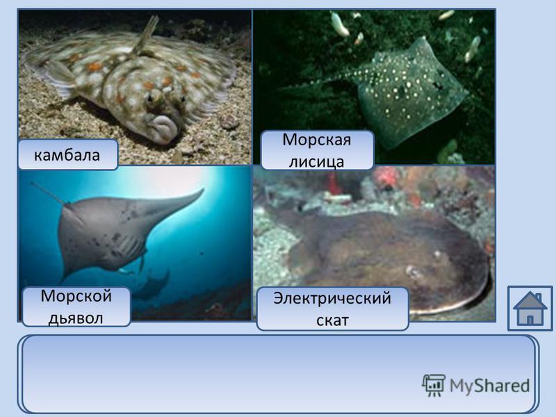 камбала Морская лисица Морской дьявол Электрический скат Морская лисица, электрический скат и морской дьявол относятся к классу хрящевых рыб, а камбала относится к классу костных рыб.