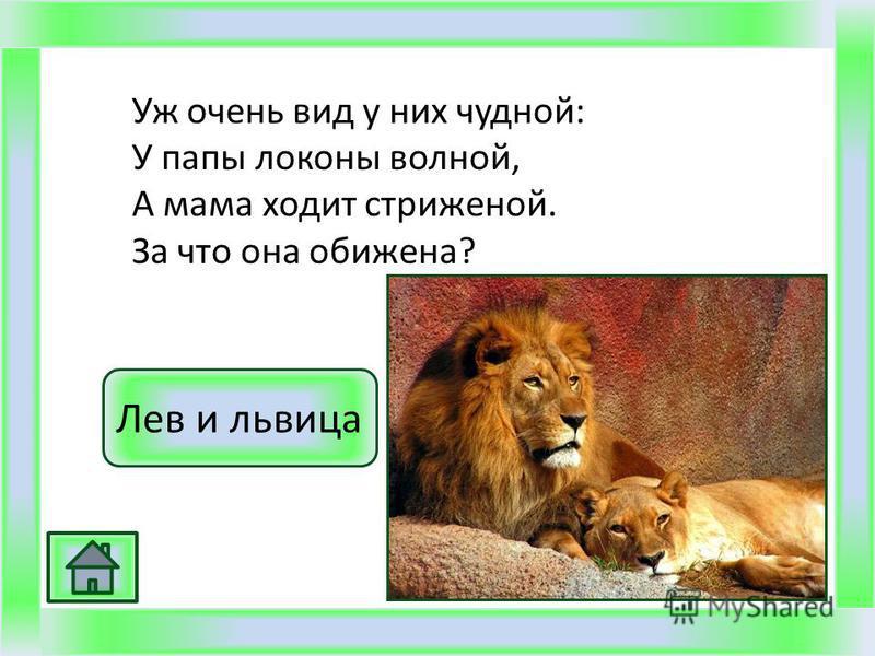 Уж очень вид у них чудной: У папы локоны волной, А мама ходит стриженой. За что она обижена? Лев и львица