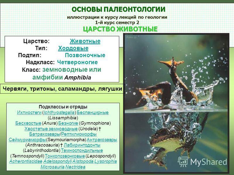 ОСНОВЫ ПАЛЕОНТОЛОГИИ ОСНОВЫ ПАЛЕОНТОЛОГИИ иллюстрации к курсу лекций по геологии 1-й курс семестр 2 ЦАРСТВО ЖИВОТНЫЕ ЦАРСТВО ЖИВОТНЫЕ Царство:Животные Животные Тип:Хордовые Хордовые Подтип:Позвоночные Надкласс: Четвероногие Класс: земноводные или амф