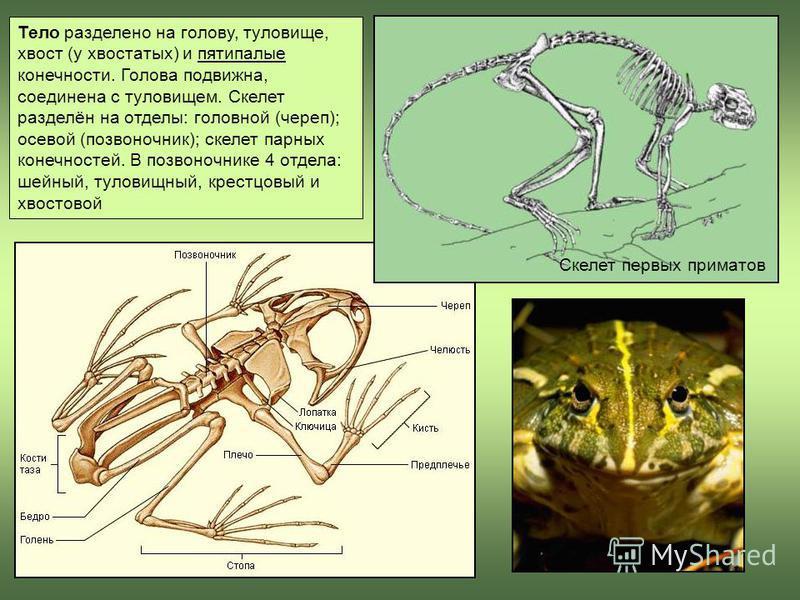Тело разделено на голову, туловище, хвост (у хвостатых) и пятипалые конечности. Голова подвижна, соединена с туловищем. Скелет разделён на отделы: головной (череп); осевой (позвоночник); скелет парных конечностей. В позвоночнике 4 отдела: шейный, тул