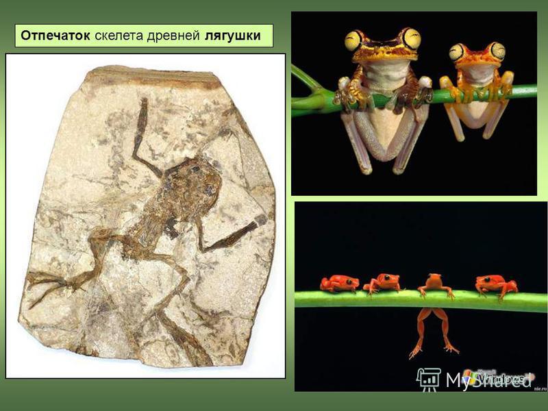 Отпечаток скелета древней лягушки