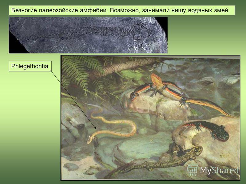 Phlegethontia Безногие палеозойские амфибии. Возможно, занимали нишу водяных змей.