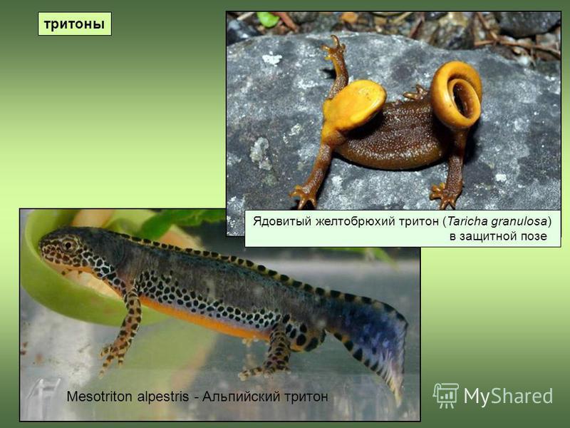 тритоны Mesotriton alpestris - Альпийский тритон Ядовитый желтобрюхий тритон (Taricha granulosa) в защитной позе