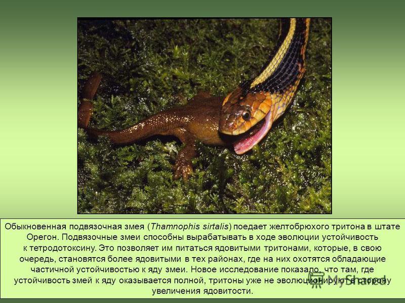 Обыкновенная подвязочная змея (Thamnophis sirtalis) поедает желтобрюхого тритона в штате Орегон. Подвязочные змеи способны вырабатывать в ходе эволюции устойчивость к тетродотоксину. Это позволяет им питаться ядовитыми тритонами, которые, в свою очер