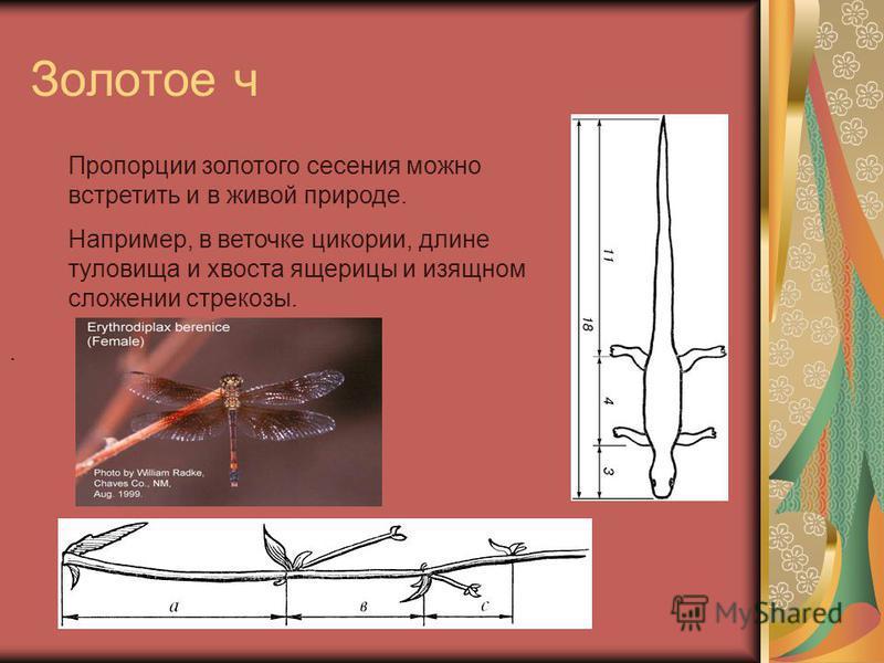 Золотое ч. Пропорции золотого сесения можно встретить и в живой природе. Например, в веточке цикории, длине туловища и хвоста ящерицы и изящном сложении стрекозы.