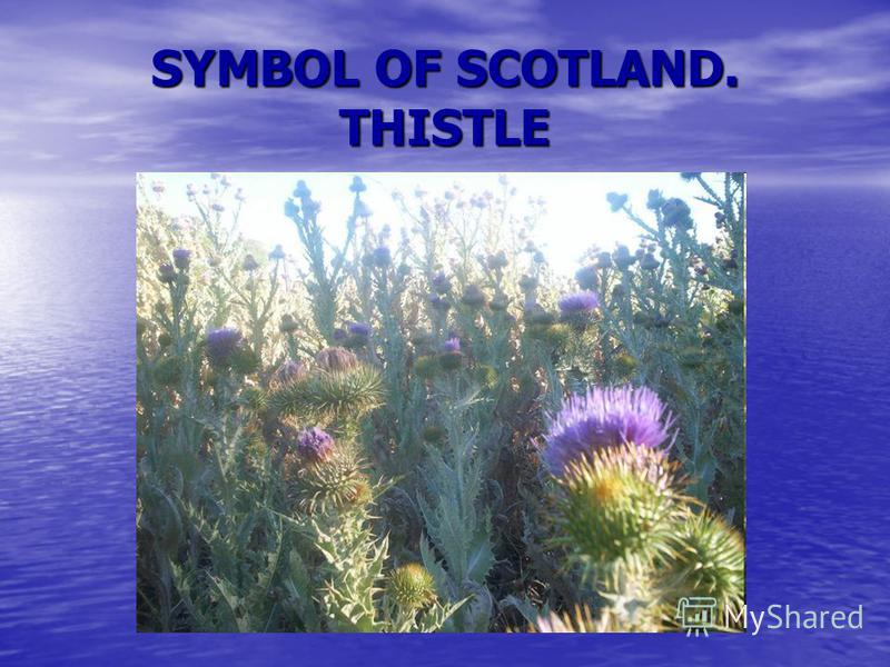 SYMBOL OF SCOTLAND. THISTLE