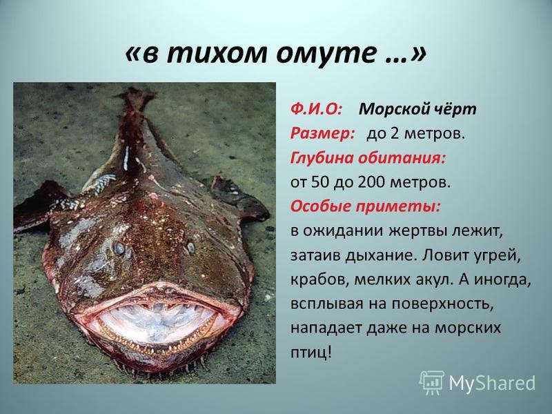 «в тихом омуте …» Ф.И.О: Морской чёрт Размер: до 2 метров. Глубина обитания: от 50 до 200 метров. Особые приметы: в ожидании жертвы лежит, затаив дыхание. Ловит угрей, крабов, мелких акул. А иногда, всплывая на поверхность, нападает даже на морских п