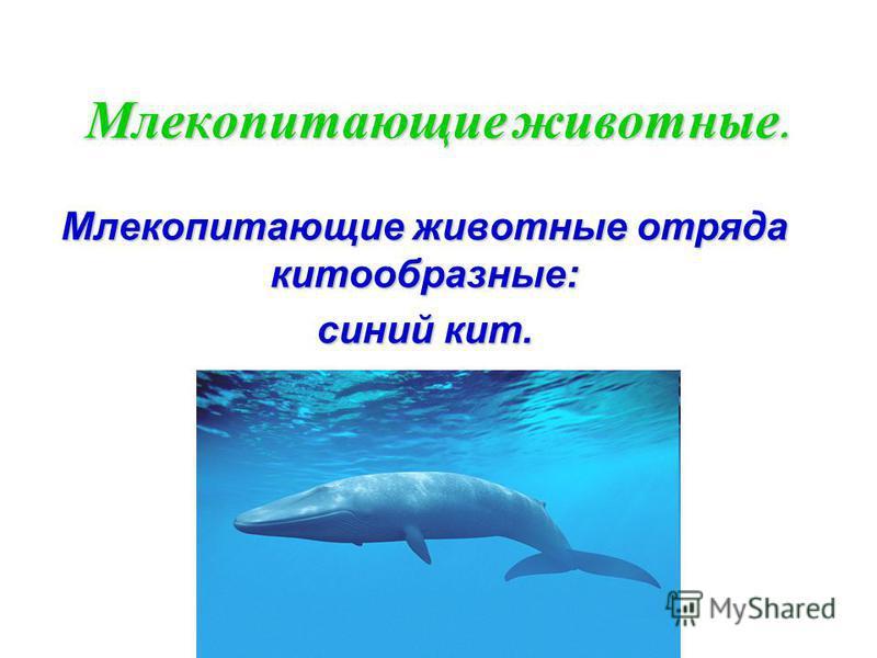 Млекопитающие животные. Млекопитающие животные отряда китообразные: синий кит.
